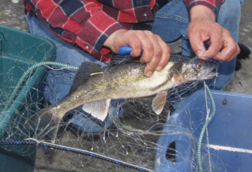 A walleye netted on Lake Mille Lacs in 2009. | Photo by Sue Erickson, courtesy of the Great Lakes Indian Fish and Wildlife Commission