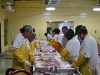 Workers clean and filet fresh walleye at a commercial processing plant at the Red Lake Nation, near Redby. Closed for nearly a decade due to overfishing on Red Lake, the plant reopened in 2008 after a joint tribal, state, and federal program restored the walleye population. | Courtesy of the Red Lake Nation Fisheries